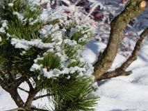 Filialer av sörjer trädet med snö Arkivfoto