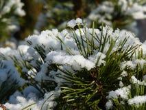 Filialer av sörjer trädet med snö Arkivfoton