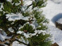 Filialer av sörjer trädet med snö Arkivbild