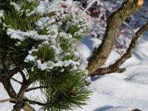 Filialer av sörjer trädet med snö Royaltyfri Foto