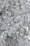 Filialer av snö-täckt sörjer trädet på en frostig vintereftermiddag Naturlig bakgrund arkivbild