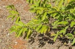 Filialer av Sweetsopträdet arkivfoto