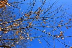 Filialer av träd på bakgrund för blå himmel Royaltyfri Foto