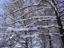 Filialer av träd som täckas med lager av snö som står i solen, klar himmel Arkivfoton
