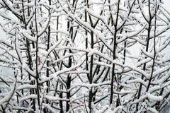 Filialer av träd som täckas av snö arkivfoto