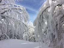 Filialer av träd som täckas till tungt snöfall arkivbilder