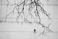 Filialer av träd utan sidor i svartvitt arkivfoto