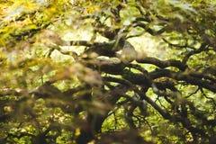 Filialer av trädet för japansk lönn Royaltyfria Bilder