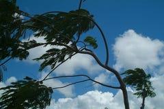 Filialer av trädet som lutas ned av stark vind Arkivfoton