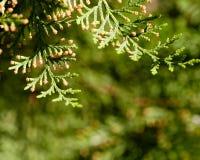 filialer av trädthujaen Royaltyfria Bilder
