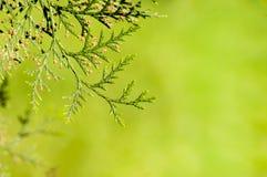 Filialer av trädthujaen Royaltyfria Foton