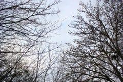 Filialer för blå grå himmel och trädovanför ditt huvud, ser upp royaltyfria foton