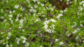 Filialer för blomningkörsbär Blomningfruktträd i Montenegro arkivfilmer