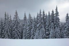 Filialer för gran för vinterbergskog som täckas med snö Royaltyfri Foto