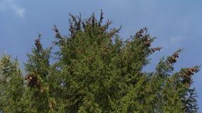 Filialer för granskogträd med kottar flyttar sig i vind på blå himmel Statisk elektricitetskott stock video