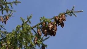 Filialer för granskogträd med lotten av kottar på blå himmel Statisk elektricitetskott stock video