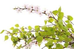 Filialer för körsbärsröd blomning och björk Arkivfoto