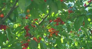 Filialer för körsbärsrött träd i vinden Många röda mogna bär stock video