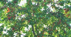 Filialer för körsbärsrött träd i vinden Många röda mogna bär arkivfilmer