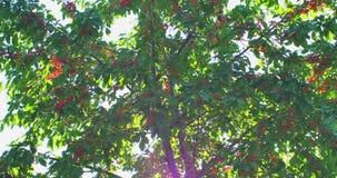Filialer för körsbärsrött träd i vinden Många röda mogna bär lager videofilmer