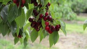 Filialer för körsbärsrött träd med körsbär lager videofilmer