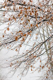 Filialer för lövfällande träd under vinter Royaltyfri Fotografi