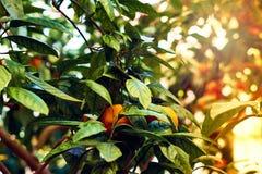 Filialer för orange träd med några mogna apelsiner Ljusa strålar för sol tonat Arkivfoto