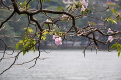 Filialer för Tabebuia roseaträd med rosa blommor Arkivbilder