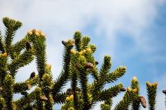 Filialer för träd för apapussel Fotografering för Bildbyråer