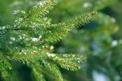 Filialer för vintergranträd som täckas med is, snö och fryste vattendroppar Djupfryst prydlig trädfilial i vinterskog Arkivbild
