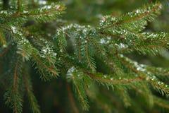 Filialer för vintergranträd som täckas med is, snö och fryste vattendroppar Djupfryst prydlig trädfilial i vinterskog Royaltyfria Bilder