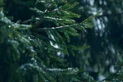 Filialer för vintergranträd som täckas med is, snö och fryste vattendroppar Djupfryst prydlig trädfilial i vinterskog Arkivfoto