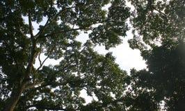 Filialer från lägre vinkel av ett stort gammalt träd Royaltyfri Fotografi