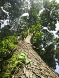 Filialer från lägre vinkel av ett stort gammalt träd Arkivbild