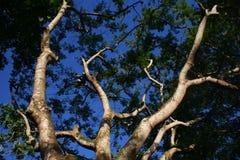 Filialer från lägre vinkel av ett stort gammalt träd Royaltyfri Bild