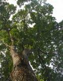 Filialer från lägre vinkel av ett stort gammalt träd Arkivfoton