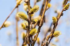 Filialer med avfärdade njure på våren Arkivfoton
