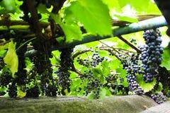 Filialer med blåa druvor Arkivfoto