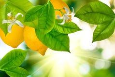 Filialer med citroner mot solen Royaltyfri Foto