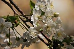 Filialer med den körsbärsröda blomningen i solen Fotografering för Bildbyråer