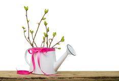 Filialer med gröna knoppar i trädgården som bevattnar kan med rosa färgpilbågen som isoleras på vit bakgrund, vårtid arkivbilder