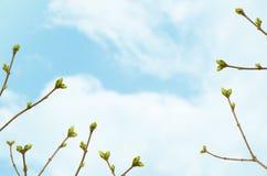 Filialer med gröna knoppar mot den blåa himlen med moln, vårtid fotografering för bildbyråer