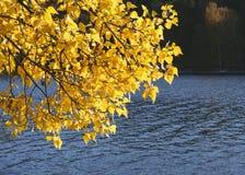 Filialer med guld- gula höstsidor som hänger över vatten fotografering för bildbyråer