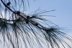 Filialer med långa visare av ett sörjaträd mot blå molnig himmel, solig dag royaltyfria bilder