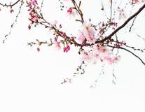 Filialer med ljus - rosa blommor av körsbärsröda blomningar Sakura tonad bild royaltyfria foton