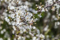 Filialer med vita blommor royaltyfri foto