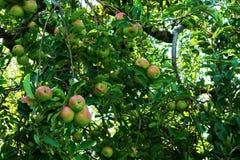 Filialer mycket av mognande äpplen Arkivfoton