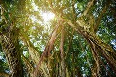 Filialer och att hänga rotar av jätte- banyanträd på den stora ön av Hawaii arkivfoto