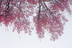Filialer och blommor av Sakura Arkivbild