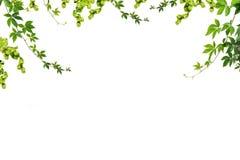 filialer och ris med gröna sidor arkivfoto